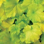 Heuchera - Shade