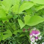 Ipomea - Sweet Potato Vine