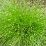 Isolepis cernua - Live Wire