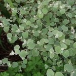 Helichrysum - Licorice Silver