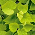 Ipomea - Sweet Potato Vine - Marguerite