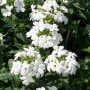 Verbena - Obsession™ White