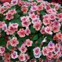 Impatiens - Patchwork Peach Prism