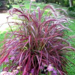 Pennisetum Celebration Fireworks