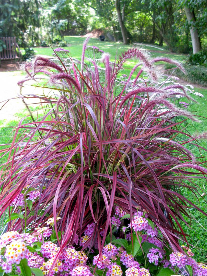 Pennisetum fireworks ymker greenhouse and landscaping for Red landscaping grass