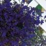 Lobelia - Regatta Midnight Blue