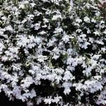 Lobelia - Regatta White