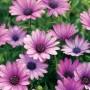 Osteospermum - Soprano Purple