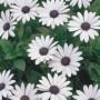 Osteospermum - Soprano White