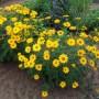 Heliopsis - Summer Sun