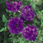Verbena - Superbena Dark Blue