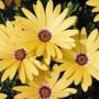 Osteospermum - Lemon Symphony