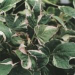 Ipomea - Sweet Potato Vine - Tricolor