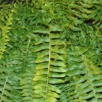 Fern - Nephrolepis - Boston  True