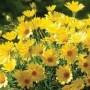 Osteospermum - Voltage Yellow