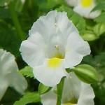 Torenia - Moon™ White