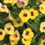 Torenia - Moon™ Yellow