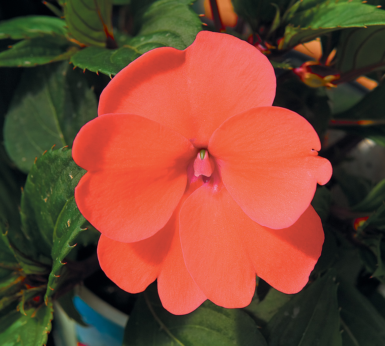Sunpatiens 174 Compact Coral Ymker Greenhouse And Landscaping