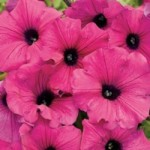 Petunia - Supertunia Royal Magenta