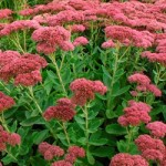 Sedum upright - Autumn Joy