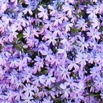 Phlox subulata - Emerald Blue