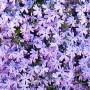 Phlox subulata - Emerald Blue