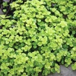 Sedum Creeping - Makinoi