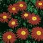 PyrethrumCoccineum - Robinson's Red