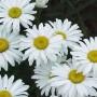 Leucanthemum - Snow Lady