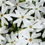 Phlox subulata - Snowflake