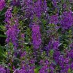 Angelonia - Serena® Purple