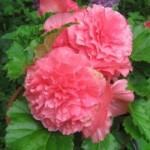 Begonia - Nonstop® Pink