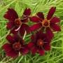 Coreopsis - Perennial