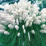 Cortaderia - selloana White