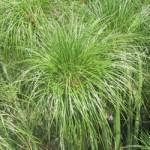 Cyperus - King Tut