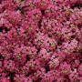 Alyssum - Clear Crystal® Mix