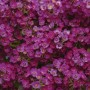 Alyssum - Clear Crystal® Purple Shades
