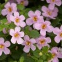 Bacopa - Scopia™ Great Classic Pink