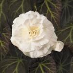 Begonia - Nonstop® Joy Mocca White