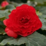 Begonia - Nonstop® Red