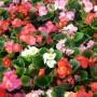 Begonia - Super Olympia®  Series