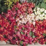 begonia super olympia mix