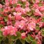 Begonia - Super Olympia® Rose