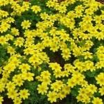 Bidens - Yellow Charm