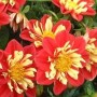 Dahlia - Starsister® Scarlet and Yellow