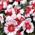 Dianthus - Super Parfait™ Red Peppermint