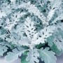 Dusty Miller - Silver Dust