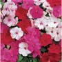 Impatiens - Accent™ Premium Peppermint Mix