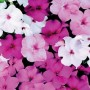 Impatiens - Accent™ Premium Mystic Mix