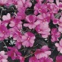 Impatiens - Harmony®  Series